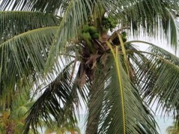 Coconut tree at Wyndham. The employees knock them down early, if you get up early, they will cut one open for you!