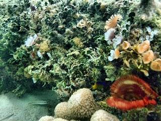 Fan corals at Fortuna