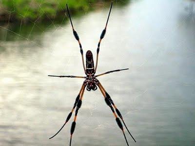 Bananna Spider on Gold Rock