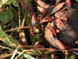 Lovebugs on the EcoVentures airboat tour