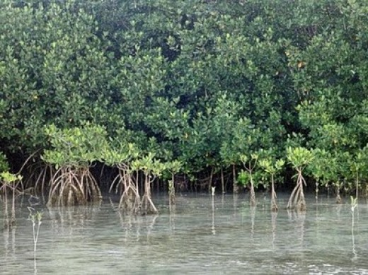 Mangroves, on the ecoventures tour