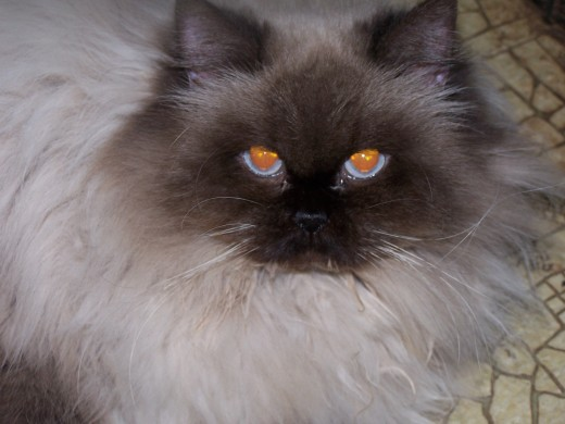 Ms. Frances, my Seal Point Himalayan, knows she's beautiful.