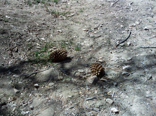 Two pine cones on a trail.