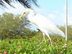 Cattle Egrets, Hawaiian Style