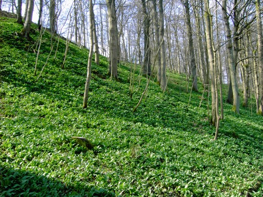 The high slopes are clad with the foliage of wild garlic. D.A.L.