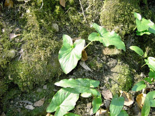 The arrow shaped leaves of the arum plant.D.A.L.