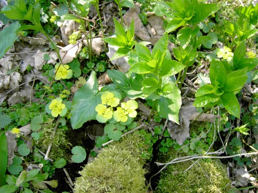 sun spurge brightens the woodland. D.A.L.