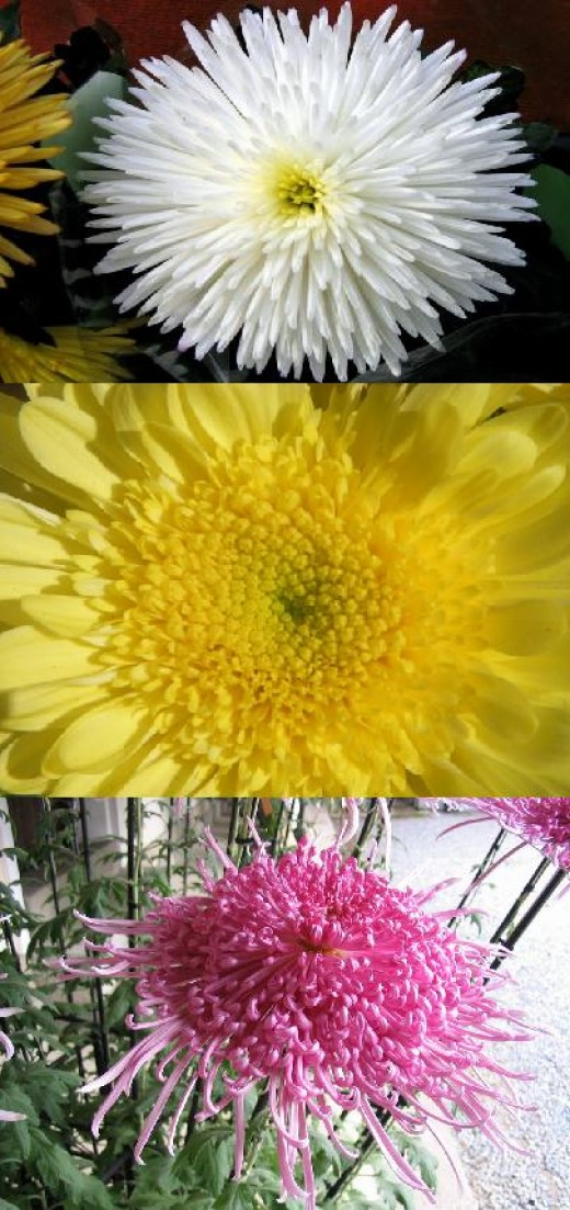 Different colors of chrysanthemum