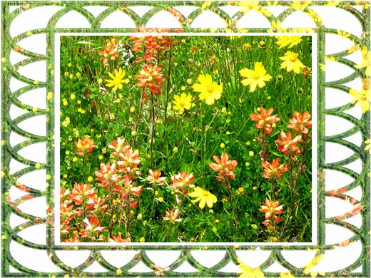 Wildflowers splashing the fields and roadsides with color each spring in Texas.