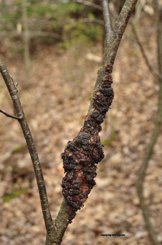 These masses -- the egg masses of the Eastern tent caterpillar -- are seen in many choke cherry trees in the woods. Looks to be another bad year, if the amount of masses means much. They tend to hatch when the buds come out. That could be any day now