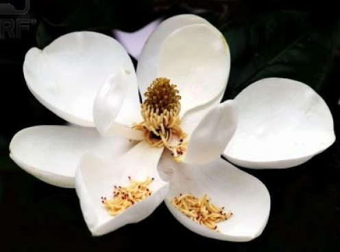 Flower and seeds of the Southern Magnolia