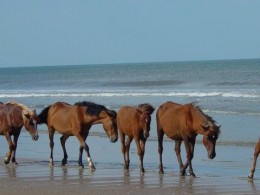 Photos of Corolla Wild Horses