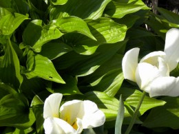 White Tulips amongst Hostas in our patio flower bed