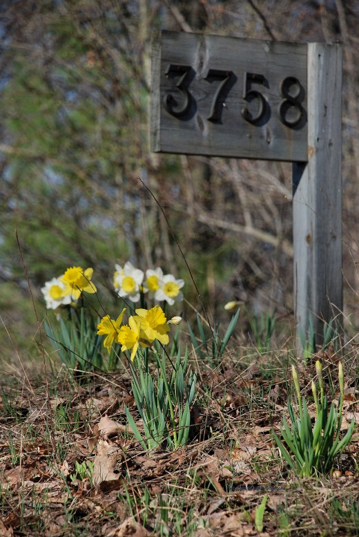 Daffodils dress up the address sign.