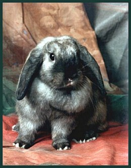 This is a mini-lop eared rabbit.  They are medium sized, and the average male weighs about 5.5 lbs.  They have short, soft fur, a big block-like head, and looped ears.  They are relaxed, easygoing, and friendly.  They come in white and agouti.