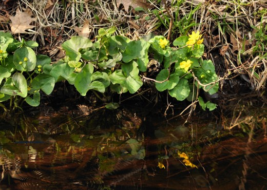 Marsh marigold -- by any other name -- still add a splash of color to the swamp and supposedly provide cover for chorus frogs. I'll have to check that out.