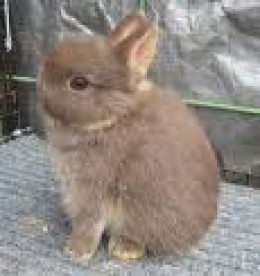 This petite rabbit is the Neterland Dwarf.  They have ears that seem short even for its small body.  The head is round and high set.  Ears are erect, well furred, and ideally two inches long.  This is one of the most popular breeds.