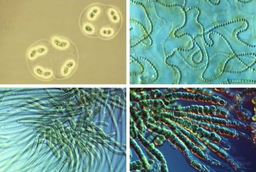 Today there are many types of cyanobacteria, but the original form was single celled and these contributed to the first great atmospheric change on earth. This changed the climate as a consequence.