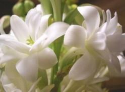 Five Fabulous Tuberose Perfumes