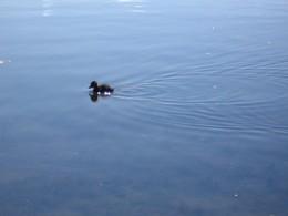 A lone duckling
