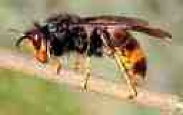 Asian hornet is rather like a large British wasp