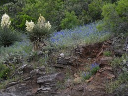 Yucca and Bluebonnets Texas