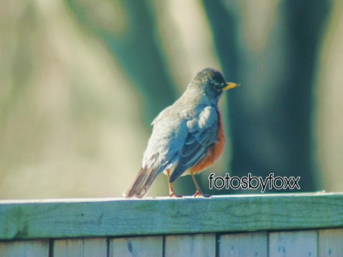 you know it's Spring when Robins appear