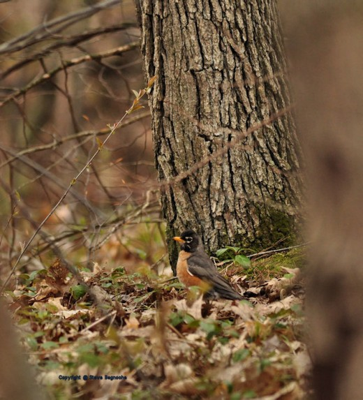 A robin searches for food among the leaf litter.