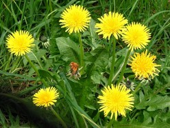 Healthy Facts About The Dandelion Plant