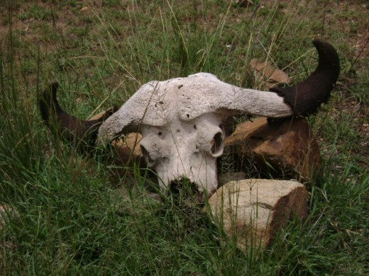Buffalo's skeleton at mara river area