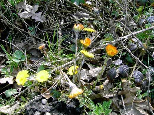 Coltsfoot flowers are a familiar sight in the countryside from March till may. Note the lack of foliage.Photograph by D.A.L.