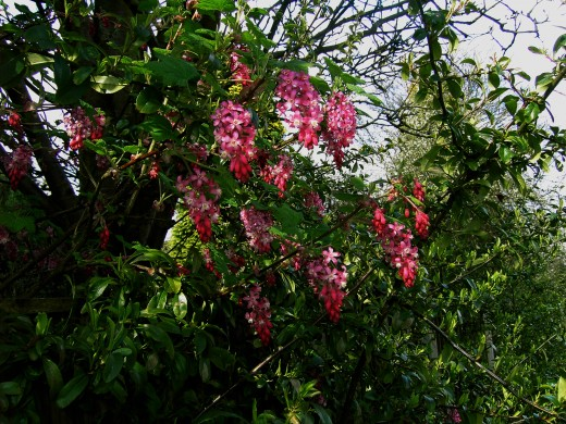 The flowering currant is a common sight in spring.Photograph by D.A.L.