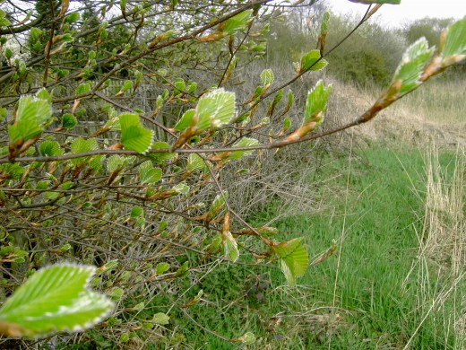 The fresh young foliage of beech just emerging. Photograph by D.A.L.
