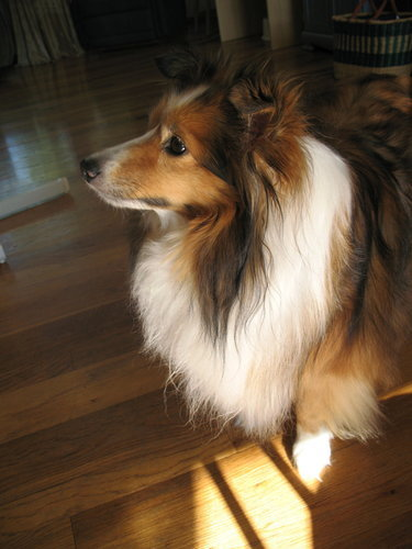 my sweet sheltie, Chloe