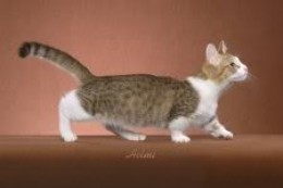 Dominant trait: short leg bones