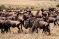 wildebeest migration  flickr.com