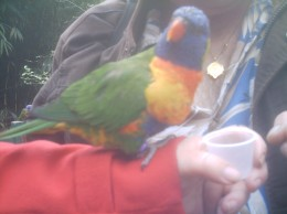A Lorikeet at Bristol zoo