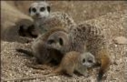 We listened to a very interesting talk about Meerkats at Bristol Zoo