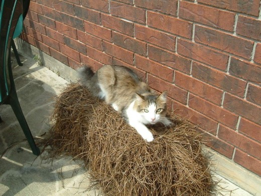 Cat sitting on a bale of pine straw