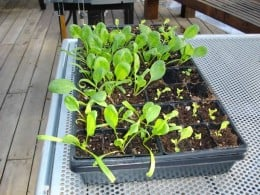 Lettuce and spinach seedlings ready for transplant.