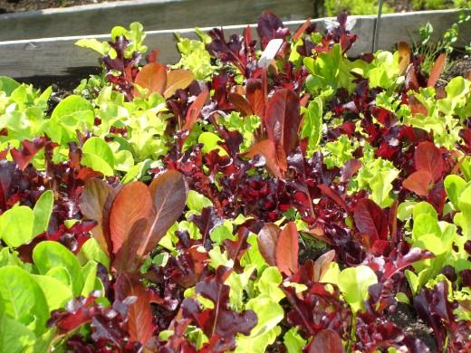 An abundance of lettuce varities.