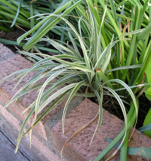 A good plant to add to your flower garden.