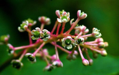 Inkberry.