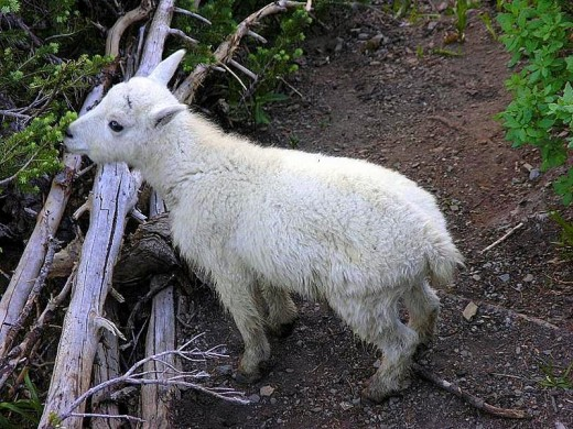 Baby mountain goat - so cute!