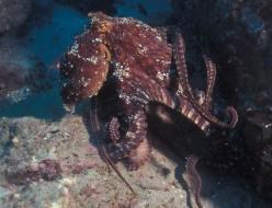 Octopus Information for the Discerning Reader