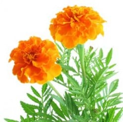 The Marigold is an Interesting Flower to Explore