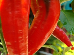 Cayenne Pepper (closeup)