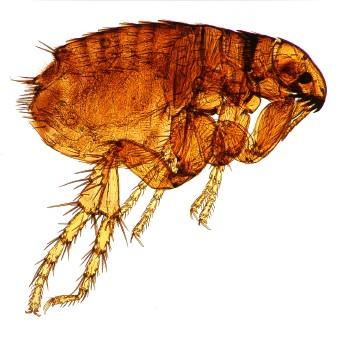 A common dog flea