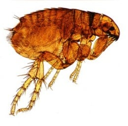 A common dog flea