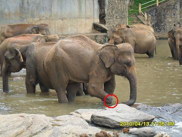 An Injured Elephant that it taken care of in Pinnawela Elephant orphanage